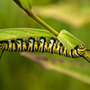 INST-13-10: Monarch Caterpillar on Milkweed plant