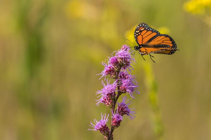 Monarch landing on Rough Blazing Star