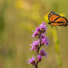 Monarch landing on Rough Blazing Star