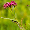 INST-13-3: Monarch Caterpillar on Swamp Milkweed