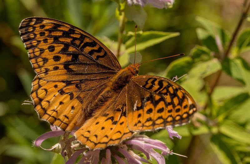INST-13-50: Great Spangled Fritillary Butterfly on Bergamot