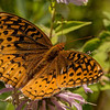 INST-13-50: Great Spangled Fritillary Butterfly on Bergamot