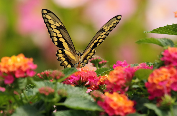Swallowtail Butterfly (Papilionidae) On Lantana
