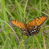 Male Regal Fritillary