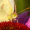 Clouded Sulphur close-up