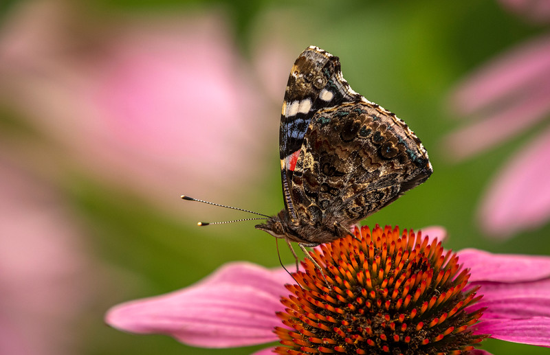Red Admiral on Purple Coneflower