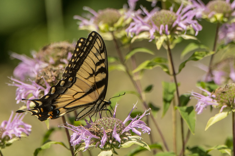 Tiger Swallowtail on Wild Bergamot