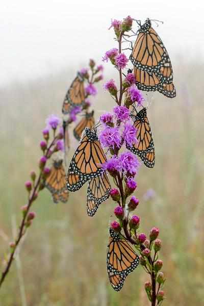 Monarchs on Blazing Star