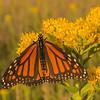 Monarch on Stiff Goldenrod