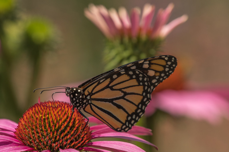 Monarch on Purple Cone Flower