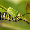 INST-13-13: Monarch Caterpillar eating Milkweed leaf