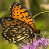 Regal Fritillary Butterfly on Bee Balm