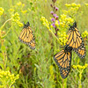 Monarch trio on Stiff Goldenrod