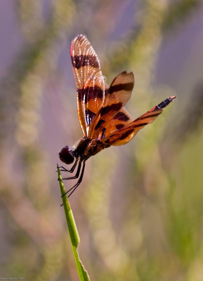 Dragonfly Loxahatchee NWR Florida © 2009