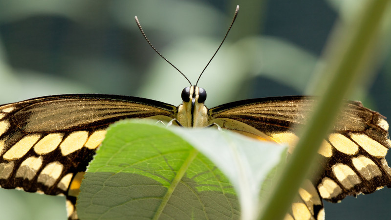This was one of the butterflies that were at the Los Angeles Natural History museum in the butterfly pavilion.