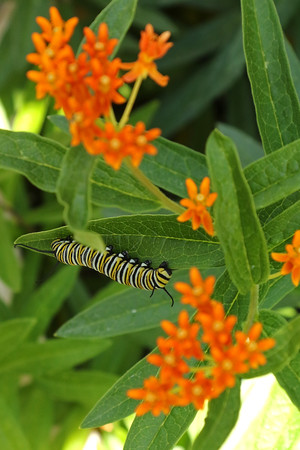 Monarch Caterpillar (Danaus plexippus) On Butterfly Weed