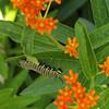 Monarch Caterpillar (Danaus plexippus) On Butterfly Weed