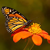 INST-11026: Monarch Butterfly on Tithonia flower (Mexican Sunflower)