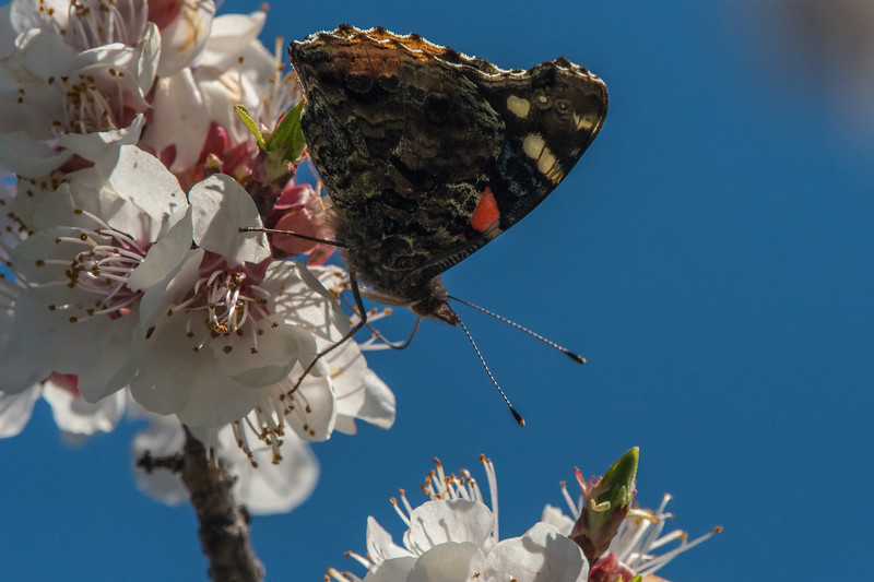 Red Admiral on Crabapple Blossom