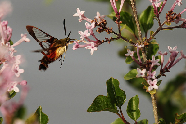 Clearwing Sphinx Moth (Hemaris thysbe)