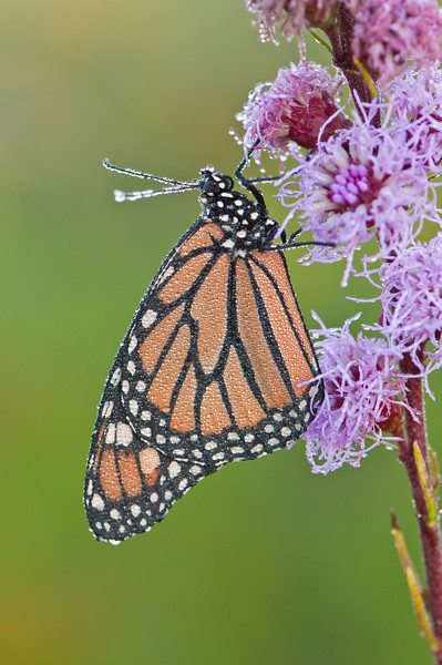 INS-10008: Early morning Monarch