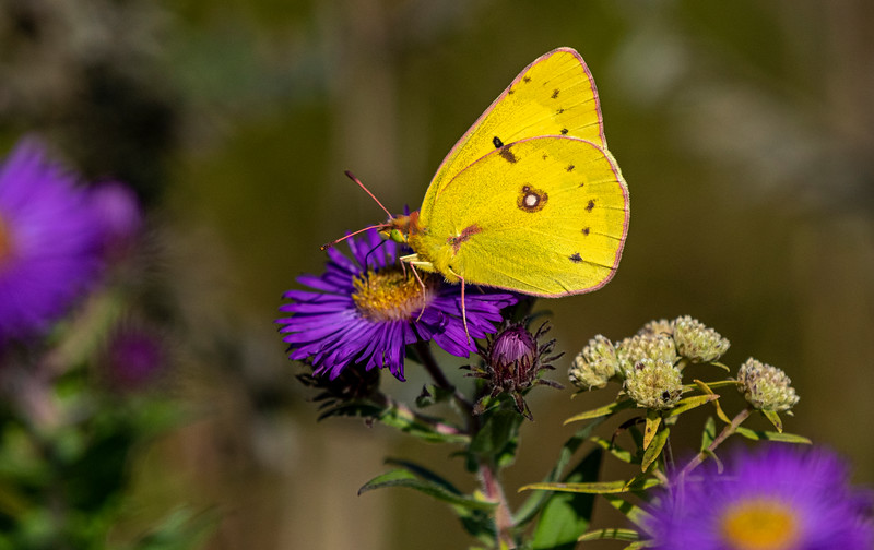 Orange Sulphur on Aster