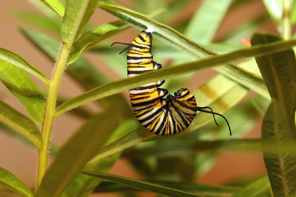 Monarch (Danaus plexippus) Larva
