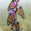 Roosting Monarchs on Meadow Blazing Star