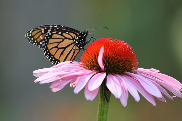 Monarch Butterfly I (Danaus plexippus)