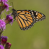 Monarch on Meadow Blazing Star