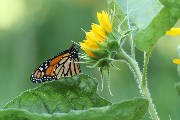 Monarch Butterfly J (Danaus plexippus)