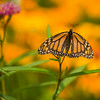 INST-14-52: Monarch on Milkweed