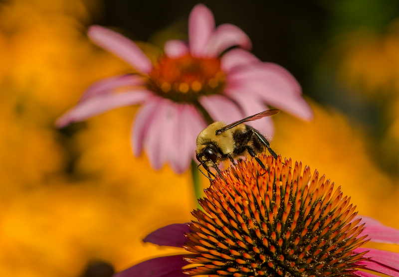 INST-14-58: Bumble Bee on coneflower
