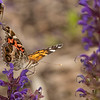 American Lady on Hyssop