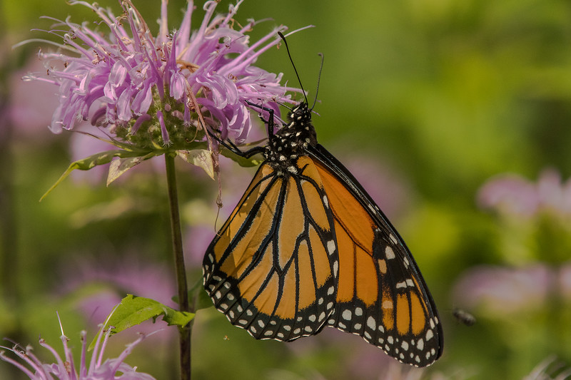 Monarch on Wild Bergamot