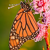 INS-10016: Monarch on Rough Blazing Star