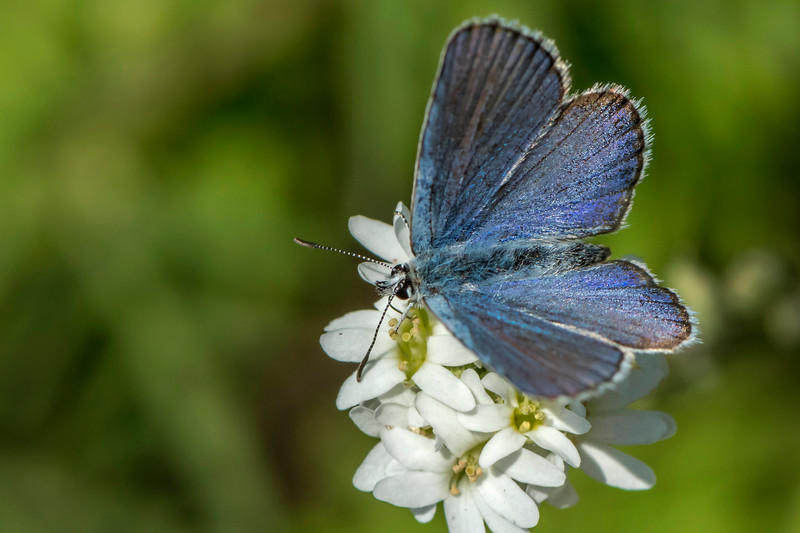 """Male Karner""""melissa"""" Blue Butterfly"""