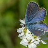 "Male Karner""melissa"" Blue Butterfly"