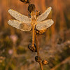 INST-13-94: Dew covered Dragonfly on Rough Blazing Star