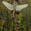 INST-13-88: Dragonfly on Rough Blazing Star
