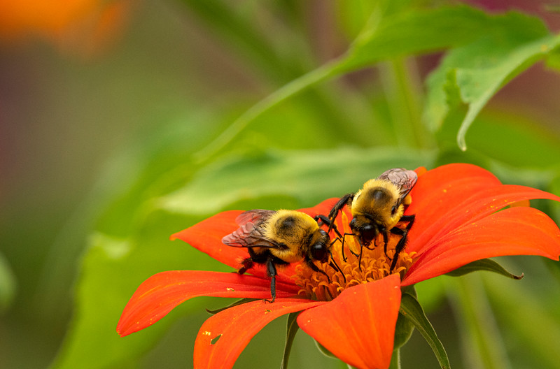 Bumble Twins on Mexican Sunflower