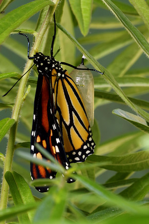 Monarch Butterfly (Danaus plexippus) Emerges From The Chrysalis.