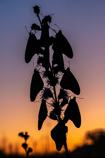 Monarch silhouette