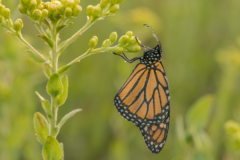Roosting Monarch