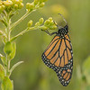 Roosting Monarch