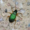 Green beetle in Zion National Park