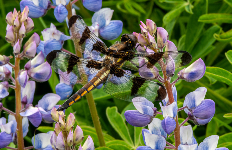 Skimmer Dragonfly on Lupine