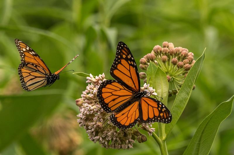 Monarchs on Common Milkweed
