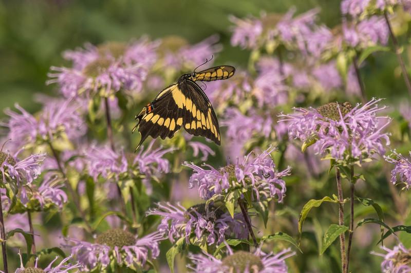 Giant Swallowtail amongst Bee Balm