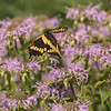 Giant Swallowtail amongst Bee Balm